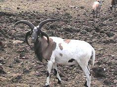 four horned hair sheep