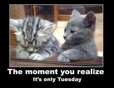 Its only Tuesday quotes quote cats days of the week cute kittens tuesday tuesday quotes funny animals Cool Cats, Crazy Cats, Animals And Pets, Funny Animals, Cute Animals, Funny Memes, Cat Memes, Cat Breeds, Beautiful Cats