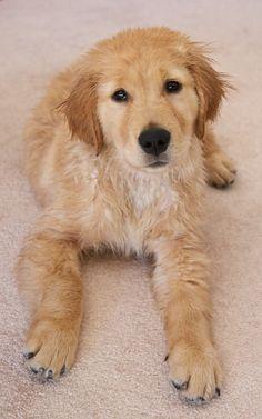 Golden Retriever Puppy--Drying After Bath