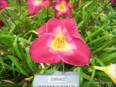Semiramide  Daylily