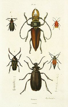 Priones Reg Price: $45 Sale Price: $20 Guerin Mammals Natural History Prints 1836; #insects