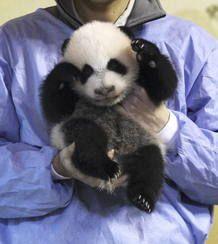 LA CRÍA DE OSO PANDA GIGANTE CUMPLE DOS MESES Y SE PRESENTA EN SOCIEDAD #panda #pandas #madris #pandasmadrid