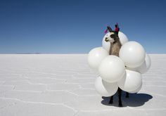 Photography: -Contrast of the white salt and blue sky -Randomness of the llama with balloons (Far Far Away - Gray Malin)