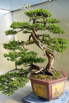 I love bonsai, and currently have a broad leaf tree that I have enjoyed many years. In the past, I have had evergreens, junipers, and a cherry tree. I also have a pair of African violets.