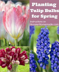 Planting Flowering Bulbs for Spring: Learn how on HoosierHomemade.com #Gardening #Bulbs