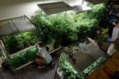 """Starbucks of marijuana"" Denver chain heading to Telluride is ruffling existing pot business' feathers"