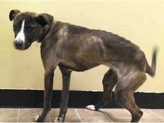 SAFE --- Brooklyn Center   NAIRA - A0997601   FEMALE, BR BRINDLE / WHITE, PIT BULL MIX, 8 mos STRAY - STRAY WAIT, NO HOLD Reason STRAY  Intake condition NONE Intake Date 04/23/2014, From NY 10469, DueOut Date 04/26/2014,  https://www.facebook.com/Urgentdeathrowdogs/photos_stream
