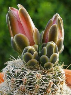 Gymnocalycium bruchii → Plant characteristics and more photos at: http://www.worldofsucculents.com/?p=8374
