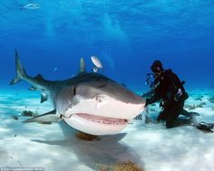 The terrifying underwater photos capture a tiger shark being fed by expert Debra Canabal o...