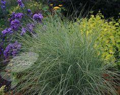 Silver grass, Miscanthus sinensis 'Morning Light'