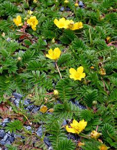Silverweed - Also known as silver cinquefoil, the roots of this plant were another of the fairies' favorite foods, which they called brisgein. However, it likes to grow in marshy areas, so cultivating it might be a problem.