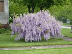 Wisteria For Sale Wisteria Plant, Tree, Garden, Shrubs, Landscape, Outdoor, Landscaping Trees, Plants, Wisteria Tree