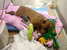 Beautiful story about a pit bull pulling its owner off the railroad tracks before she could be hit by a train.  The dog, Lilly, was hit and severely injured but recovering.  Just another example of how Pit Bulls are not the cruel beasts they are made out to be....it's how they are treated and raised.