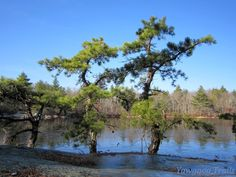 Pitch pines (Pinus rigida) at Deer Point on #Yawgoog Pond.  A 2014 image by David R. Brierley.