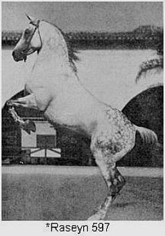 raseyn, b 1923, bred by crabbet arabian stud, england.  imported to US in 1926 by w.k.kellogg, pomona, ca.  died may 1959.  aragon carries multiple lines to him through passionn (2), bay-abi, heritage memory (4), rhondanecian(2) and sur-knight
