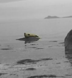 Seal at the Isle of Bute, Scotland