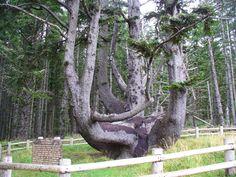 Octopus Tree on the Oregon Coast