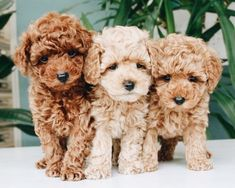 Cockapoo puppies - beautiful, animals et dogs image sur We Heart It Cute Little Animals, Cute Funny Animals, Little Dogs, Cockapoo Puppies, Goldendoodles, Labradoodles, Toy Poodle Puppies, Toy Poodles, Toy Goldendoodle