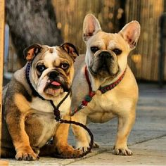English and French Bulldogs, Be still my ♡.