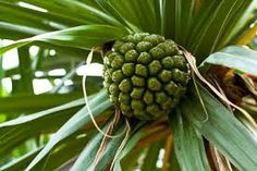 Image result for hala fruit tree