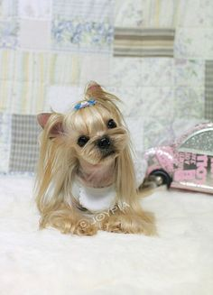 Such a blonde yorkie, dont see them this color very often ususally there is more black and brown.