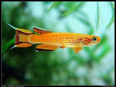 Killifish - Aphyosemion australe gold by mczero on DeviantArt Tropical Freshwater Fish, Tropical Fish Aquarium, Freshwater Aquarium Fish, Aquarium Shop, Aquarium Ideas, Nature Animals, Zoo Animals, African Rainforest, Aquascaping Plants