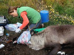 Dr. Oakley, Yukon Vet Recap: Caribou Down