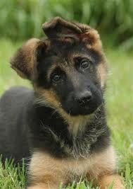ach een duitse herder met flap oren