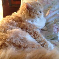 mythicalbeastlove: cybergata: Quincy the curly Selfkirk Rex Kitteh - vintage_goddesss Floof. ur sheep is cute