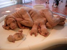 Scientists successfully create human-bear-pig chimera (sculpture by Patricia Piccinini)