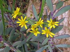 Senecio crassissimus - Vertical Leaf Senecio is an erect evergreen subshrub up to 24 inches (60 cm) tall and up to 18 inches (45 cm) wide, with thick...