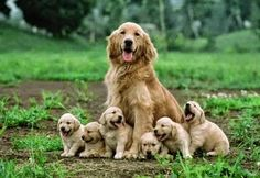 and baby funny Mother dog sitting with her cute puppies. Mother dog sitting with her cute puppies. Animals And Pets, Baby Animals, Funny Animals, Cute Animals, Cute Puppies, Cute Dogs, Dogs And Puppies, Doggies, Pomsky Puppies