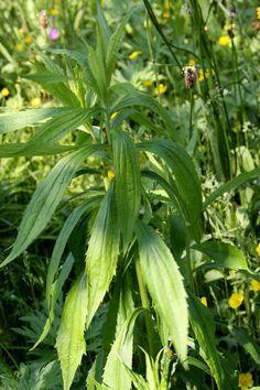 Healing Weeds: Horseweed