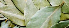 Umieść liście laurowe i czosnek w dużym garnku i zalej wodą. Oczyścisz stawy ze złogów, pozostałe efekty też zachwycają | smakosze.pl Bay Leaf Plant, Bay Leaf Tree, Plant Leaves, Organic Gardening, Gardening Tips, Laurier Sauce, Rat Repellent, Burning Bay Leaves, Getting Rid Of Rats
