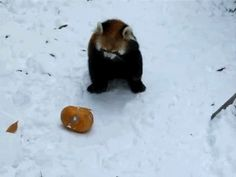…but it only adds to their cuteness. | 17 Reasons Red Pandas Are Earth-Shatteringly Cute