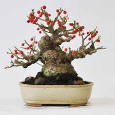 Plum Bonsai.....has that great wise old man look