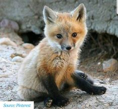 Find This Pin And More On Foxes By Julie Fenn See Beautiful CreaturesANIMALS BEAUTIFULCute