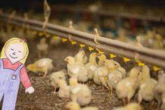 Tales of a Kansas Farm Mom: Chicken Farmer Math
