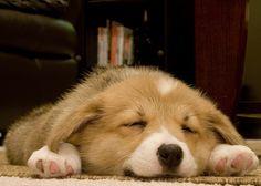 Sleepy corgi.