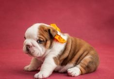 English Bulldog Puppies – 45 Pictures -