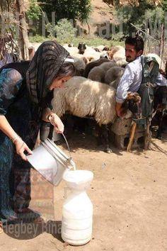 A family milking their sheep in Kurdistan
