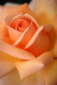Apricot rose ✿⊱╮ by VoyageVisuel
