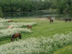 A meadow of horses, including a Fjord