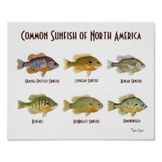 >>>Low Price Guarantee          Common Sunfish of North America.. Posters           Common Sunfish of North America.. Posters Yes I can say you are on right site we just collected best shopping store that haveReview          Common Sunfish of North America.. Posters today easy to Shops & Pu...Cleck Hot Deals >>> http://www.zazzle.com/common_sunfish_of_north_america_posters-228137165460283247?rf=238627982471231924&zbar=1&tc=terrest