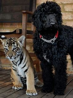 best friends, tiger cub & standard poodle at Mogo Zoo