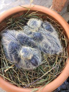 Piccoli di colombaccio a 6 giorni di età