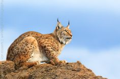 Eurasian lynx on the lookout