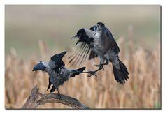 Hooded Crow, Bonte Kraai