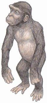 SAHELANTHROPUS TCHADENSIS. Su cráneo es simiesco y pequeño, aunque de rostro breve y dientes pequeños, en particular los colmillos, lo cual le acerca a los humanos. Su arco supraorbital es muy prominente. Se han encontrado un cráneo, dos fragmentos de mandíbula inferior y tres dientes aislados. No presenta cresta craneal, su volumen cerebral es aproximadamente de 350 cm.