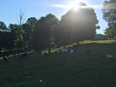 What a beautiful Monday morning, 🌄 sun is coming up and the goats are enjoying it before get's too HOT!! ☀️ #monday #morning #sunrise #goats #farm #farmlife #picoftheday #mondaymotivation #kentucky #MondayMorning #pictureoftheday #awesome #cool #best #bestoftheday #love #sunrises #sunriselovers #mornings #morningview #morningsun #picofday #picsoftheday #beautiful #beautifulview #sun #sunshine #boergoats #goat #cuteanimals